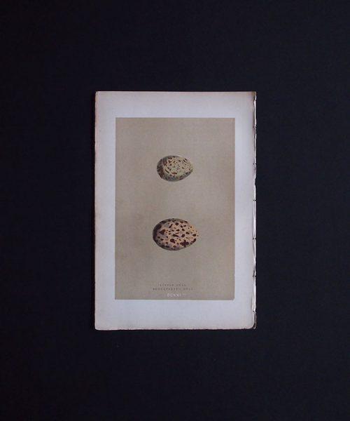 鳥の卵の図版 8