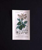植物の図版 CONNARE