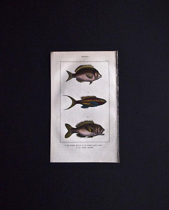 魚類の図版 1