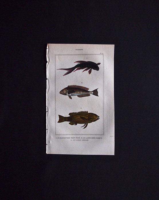 魚類の図版 3