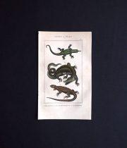 爬虫類の図版  SAURIENS ou LÉZARDS