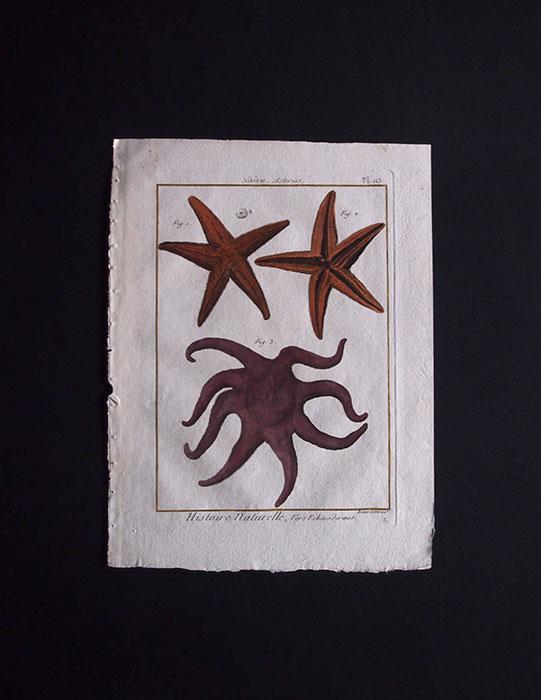 博物図版  Echinodermes 2