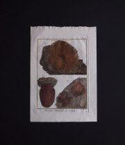 博物図版  Mollusques