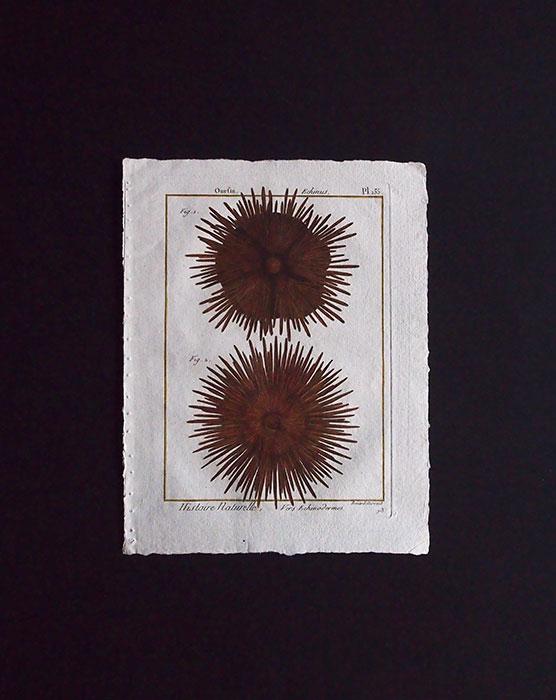 博物図版  Echinodermes