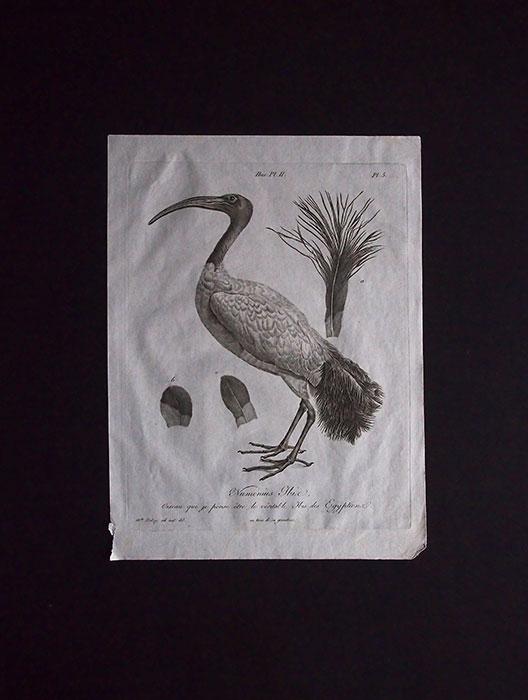 骨の図版 3 Ibis