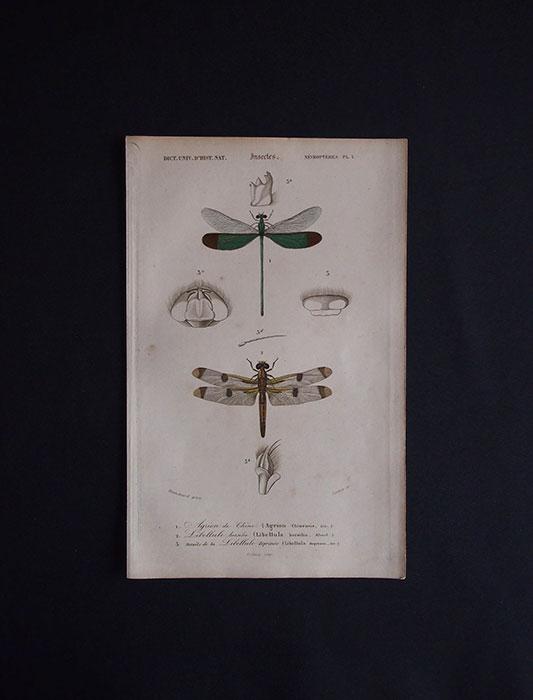 蜻蛉の図版