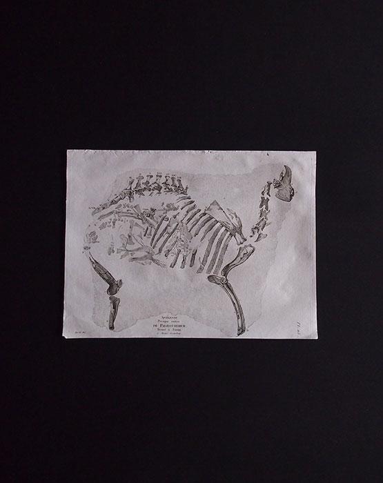 骨の図版  Palaeotherium