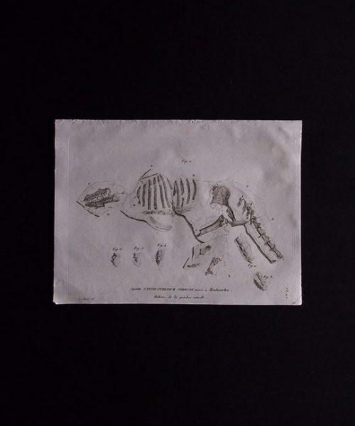 骨の図版  Anoplotherium