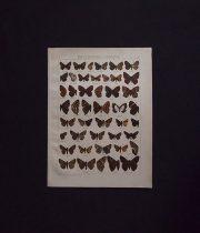 古い蝶の版画  ERYCINIDAE – ISMENE