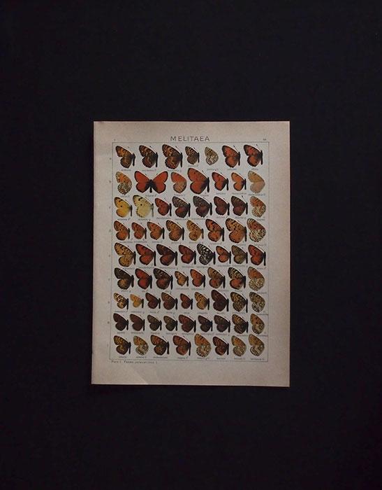 古い蝶の版画  MELITAEA