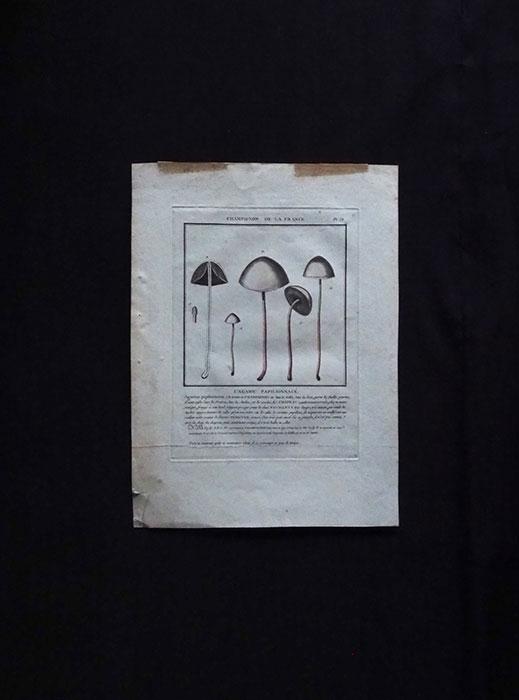キノコの図版 32  Agaric Papilionnace