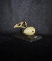 オオウミガラスの卵と頭蓋骨模型(レプリカ)