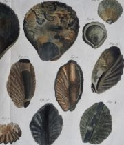 貝の図版 Huitre – Ostrea