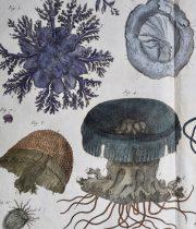 クラゲの図版 Méduse