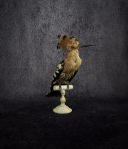 鳥の剥製 50 Upupa Epops