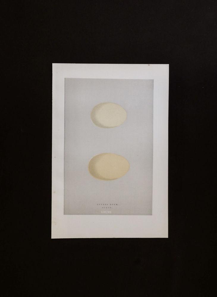 鳥の卵の図版 11
