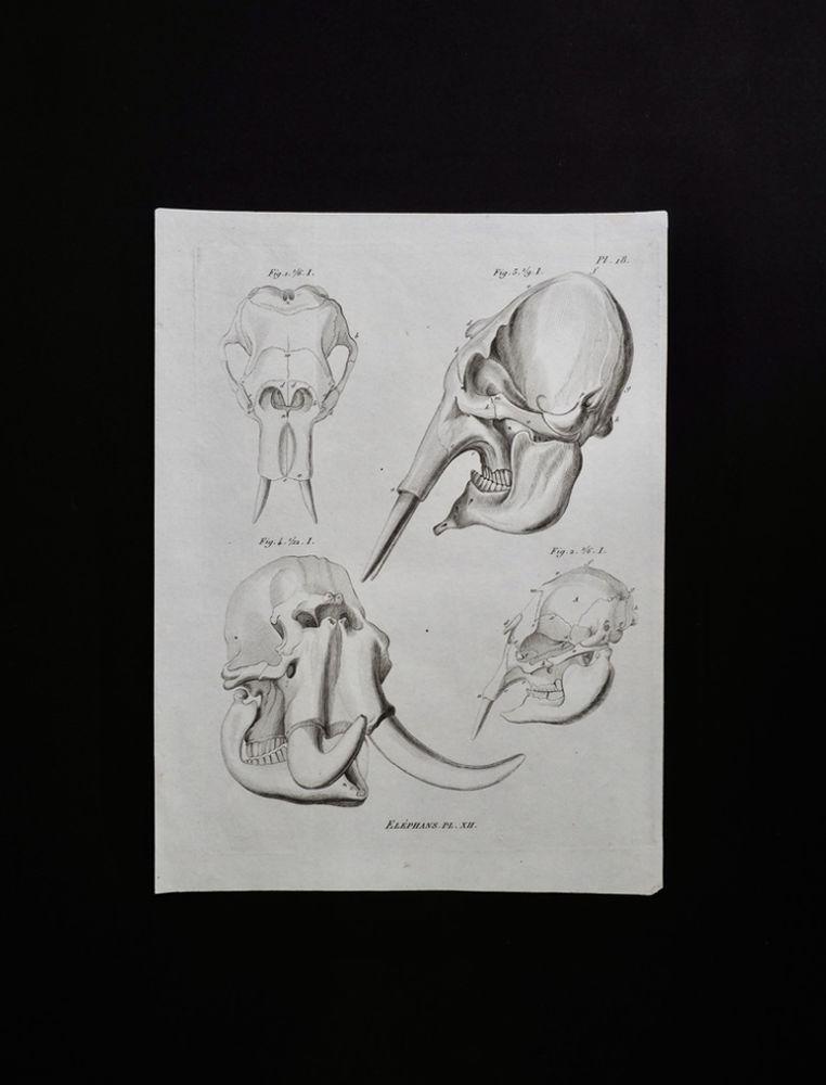 骨の図版 5 象の頭蓋骨