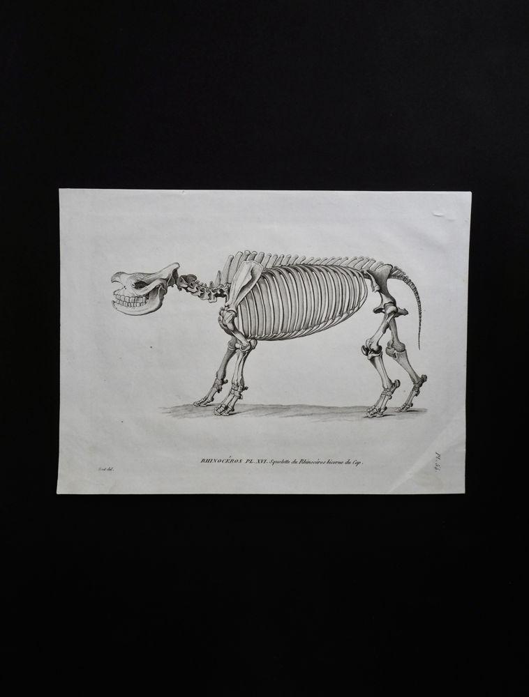 骨の図版 6 犀の全身骨格