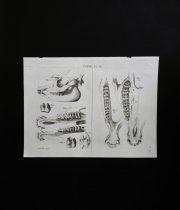 骨の図版 7 バクの骨格