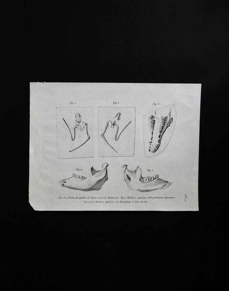 骨の図版 8 コウモリ・アノプロテリウム・マストドンの化石
