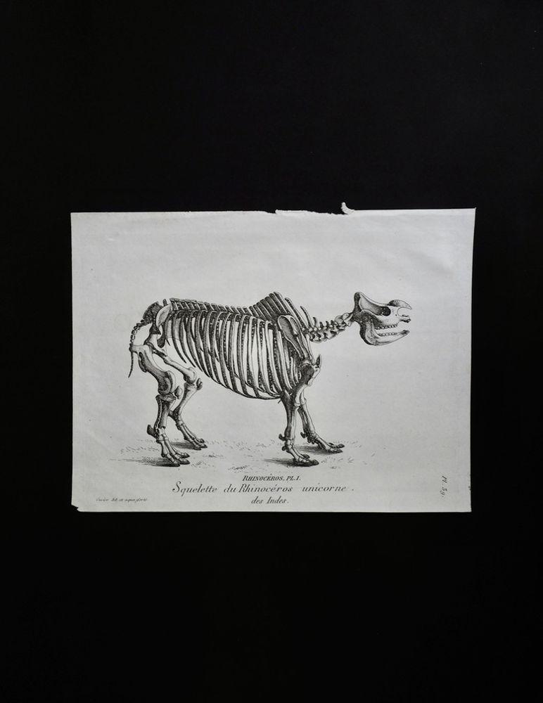 骨の図版 9 インド犀の全身骨格