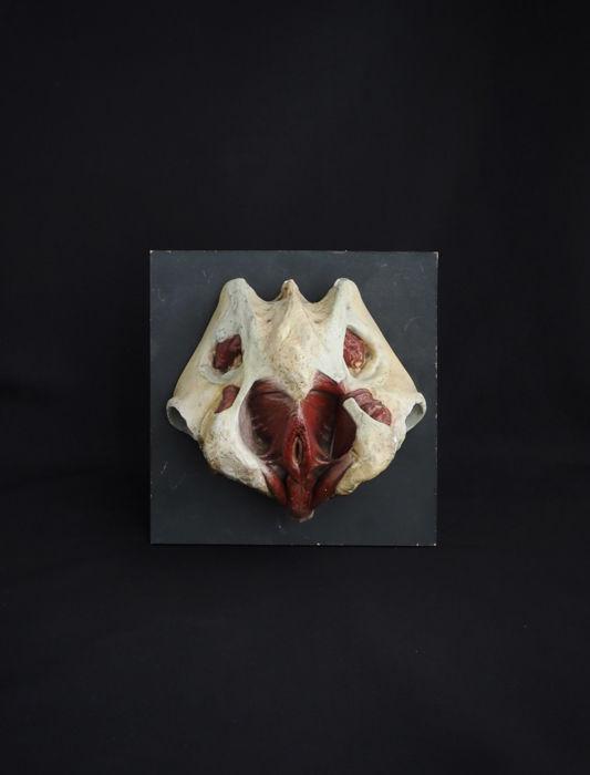 人体解剖模型 Female reproductive organs 1